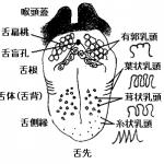 舌の構成図